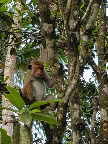 SriLankamonkey